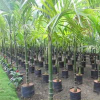 Palm Trees in Tamil Nadu - Manufacturers and Suppliers India
