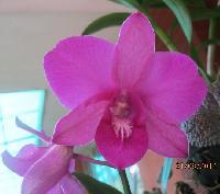 Dendrobium Plants