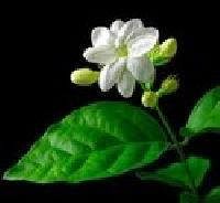 Jasmine Champe Oil