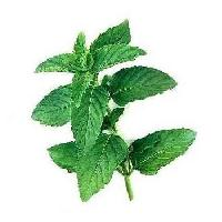 Natural Mint Oil