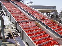 Tomato Ketchup Plant