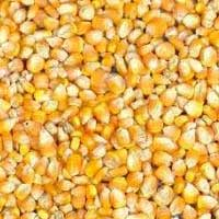 Indian Yellow Maize, Corn