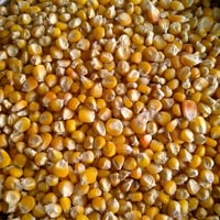 Corn ,yellow Maize
