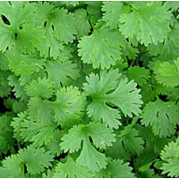Coriander Leaves Powder
