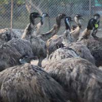 Adult Emu Birds