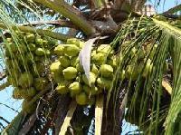 Fresh Tender Coconut