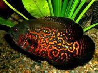 Oscar Fish, Ornamental Fish