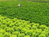Ficus Black Plant