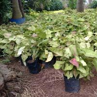 Shrub Plants