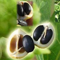 Jatropha Curcas Improved Seeds