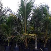 Coconut Palm Plants