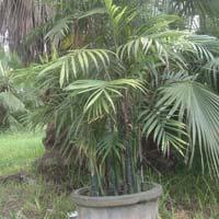 Alexandra Palm Plant