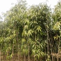 Ashoka Pendula Plant