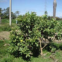 Guava Fruit Tree