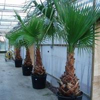 Washingtonia Plant