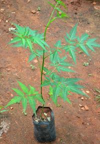 Neem Seedlings