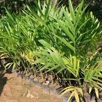 Palm Plants
