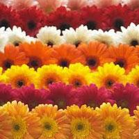 Fresh Gerbera Flowers