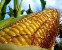 Human Consumption Yellow Maize