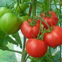 India Tomato Plants