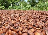 Cocoa Dried Beans