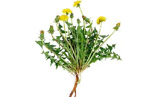 Dandelion Roots Extract