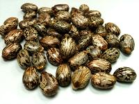 Castor Seed Exporters India