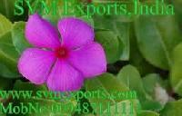 Catharanthus Roseus Exporters