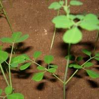 Medicianal Moringa Tea Cut Leaf Suppliers