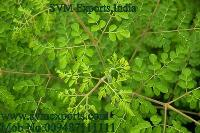 Pure Moringa Leaves Suppliers