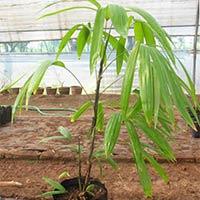 Hyprobe Versifelty Palm Plant