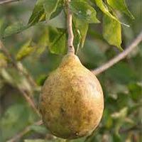 Juglans Regia Seed