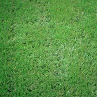 Mexian Grass Seed