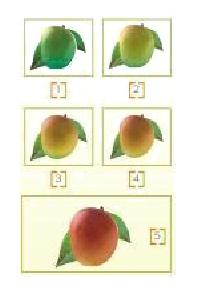 Ripened Mango