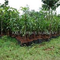 Langra Mango Plants