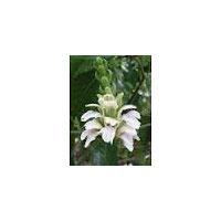 Adhatoda Vasica Leaf Extract, Vasaka Extract