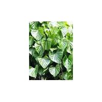 Tinospora Cordifolia Extract, Guduchi Extract