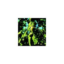 Triphala Extract(ayurvedic Formula)25%taninins40%tannins
