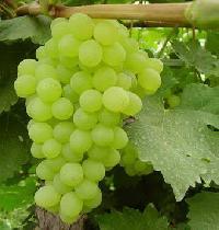 White Grape Juice Concentrate