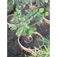 Bonsai Adenium Plant