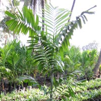Kentia Palm Plant