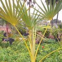 Latania Rubra Palm Plant