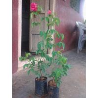 Ordinary Rose