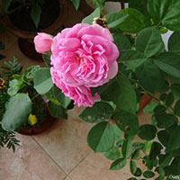 Rose(paneer Rose)