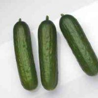 Hybrid Cucumbers