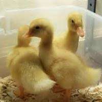 Duck Baby Chicks