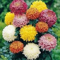 Fresh Sevanti Flowers