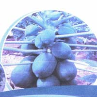 Seedling Papaya Plants