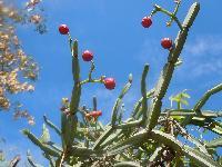 Organic Cissus Quadrangularis