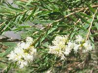 Tea Tree Oil Patanjali